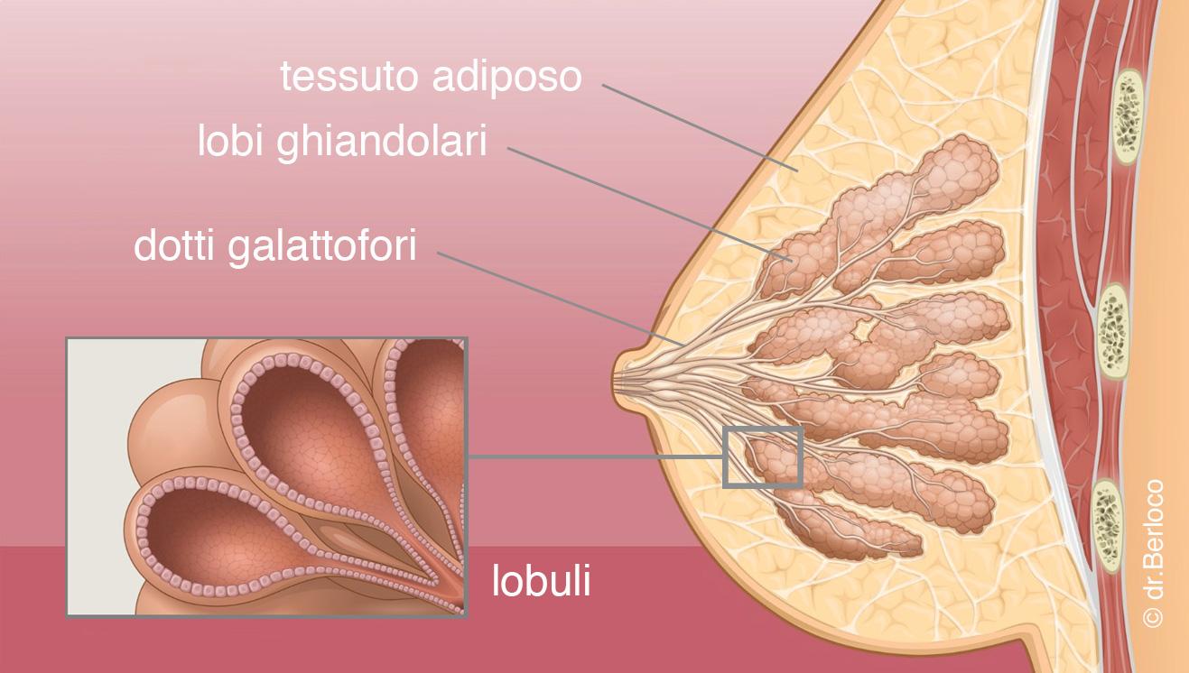 anatomia Anatomia del Seno